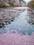 弘前城の桜 花筏