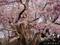 弘前城の桜 日本一太いソメイヨシノ