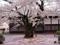 弘前城の桜 日本一古いソメイヨシノ