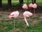 旭山動物園 チリーフラミンゴ