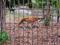 旭山動物園 アムールトラ