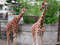 旭山動物園 アミメキリン